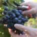 zbiory winogron sezonowa praca winobranie 2018