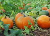 Od zaraz bez języka sezonowa praca w Anglii przy zbiorach warzyw Salisbury 2018