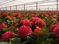 Sezonowa praca Anglia ogrodnictwo w szklarni przy kwiatach od zaraz Romsey