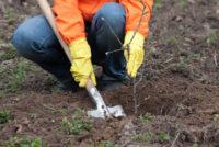 Oferta sezonowej pracy w Anglii 2019 od zaraz przy przesadzaniu drzewek Romsey UK