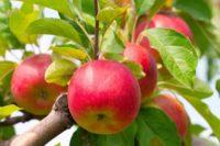 Anglia praca sezonowa od zaraz przy zbiorach jabłek, gruszek 2019 Canterbury UK