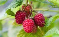 Bez języka sezonowa praca w Anglii przy zbiorach truskawek, malin i borówki od zaraz Wokingham