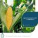 Zbior kukurydzy