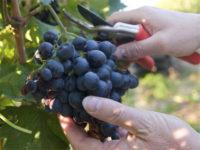 Dam sezonową pracę w Anglii bez języka przy zbiorach winogron Shrewsbury UK