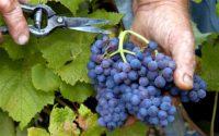 Sezonowa praca w Anglii od zaraz bez języka – zbiory winogron deserowych, Shrewsbury