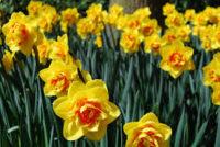 Sezonowa praca w Anglii od stycznia 2020 przy zbiorach kwiatów Kornwalia