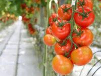 Dam sezonową pracę w Anglii przy zbiorach pomidorów bez języka od stycznia 2020 Cambridge