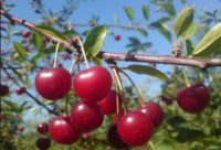 Oferta sezonowej pracy w Anglii 2020 bez języka przy zbiorach owoców czereśni w Salisbury od lipca