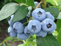 Anglia praca sezonowa bez języka przy zbiorach owoców – wakacje 2020 Shrewsbury UK
