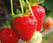 Zbiory owoców sezonowa praca w Anglii na rok 2020 farma z Maidstone UK