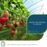Anglia praca sezonowa przy zbiorach owoców truskawek, malin, borówki, jeżyn Chichester 2020