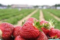 Bez języka oferta sezonowej pracy w Anglii przy zbiorach owoców 2020 w Canterbury UK