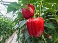 Dam sezonową pracę w Anglii zbiory pomidorów, papryki bez języka od zaraz w Cambridge UK