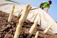 Sezonowa praca w Anglii bez języka dla par przy zbiorach szparagów w Lincolnshire 2020