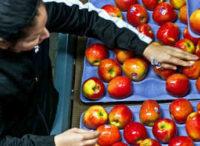 Praca w UK bez znajomości języka przy pakowaniu-sortowaniu owoców od zaraz Dundee