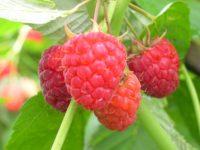 Sezonowa praca w Anglii przy zbiorze owoców na farmie w Maidstone UK 2020