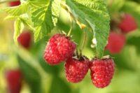 Zbiory owoców sezonowa praca w Anglii od zaraz bez języka farma w Shrewsbury 2020