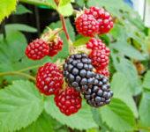 Sezonowa praca Anglia bez języka przy zbiorach malin, borówek, truskawek i jeżyn od zaraz Chichester