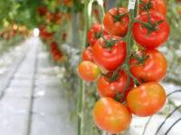 Zbiory warzyw w szklarni sezonowa praca Anglia bez języka od zaraz Cambridge 2020