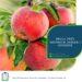 Praca przy zbiorach jablek i gruszek