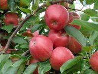 Sezonowa praca w Anglii bez języka przy zbiorach jabłek od zaraz w sadzie, Maidstone
