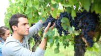 Dam sezonową pracę w Anglii od zaraz przy zbiorach winogron 2020 Billingham
