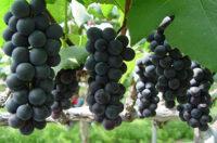 Zbiory winogron oferta sezonowej pracy w Anglii bez języka od zaraz w Shrewsbury 2020