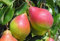 Zbiory jabłek i gruszek sezonowa praca w Anglii bez języka od zaraz w Salisbury 2020