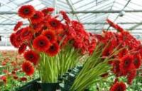 Od zaraz oferta sezonowej pracy w Anglii przy kwiatach ogrodnictwo Spalding UK