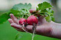 Sezonowa praca Anglia przy zbiorach warzyw polowych od zaraz Farningham UK