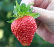 Sezonowa praca Anglia 2021 przy zbiorach owoców bez języka na farmie w Shrewsbury UK