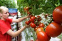 Sezonowa praca Anglia 2021 od zaraz bez języka zbiory pomidorów i papryki w Cambridge UK