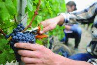 Od zaraz sezonowa praca w Anglii przy zbiorach winogron 2021 w Billingham UK