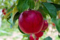 Anglia praca sezonowa od zaraz przy zbiorach jabłek i gruszek bez języka Exeter 2021