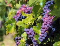 Zbiory winogron od zaraz oferta sezonowej pracy w Anglii 2021, Billingham