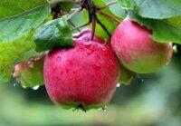 Oferta sezonowej pracy w Anglii zbiory jabłek od zaraz bez języka w Salisbury UK