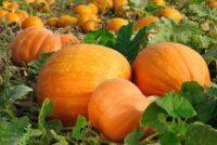 Bez języka Anglia praca sezonowa zbiory dyni od zaraz na farmie w Salisbury 2021