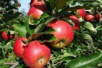 Zbiory jabłek sezonowa praca w Anglii bez języka od zaraz w Salisbury 2021